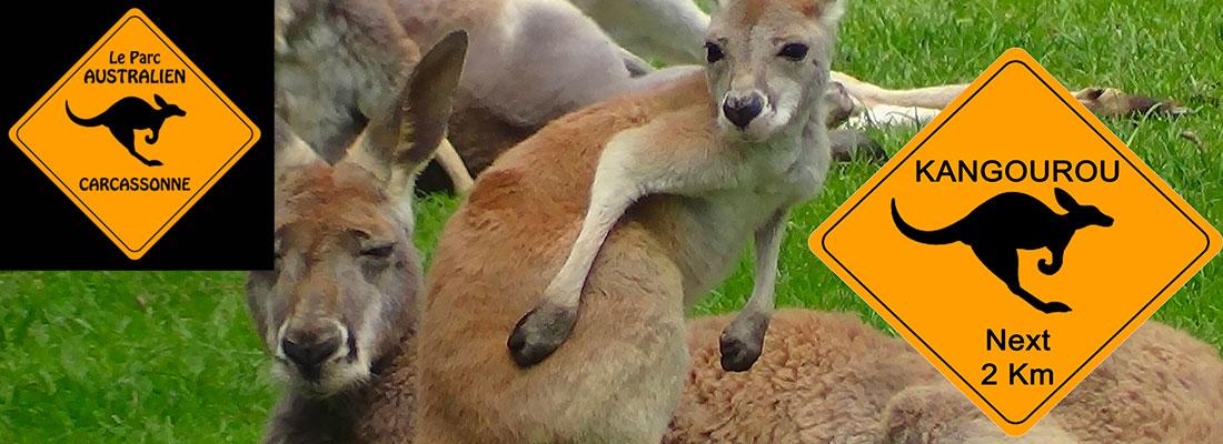parc australien kangourou